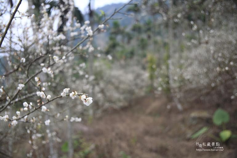 台南私藏景點--梅嶺梅花季  2013 (28)