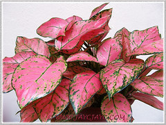 Aglaonema 'Valentine', a pink/green Thai hybrid at our courtyard, 29 Dec 2013
