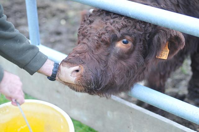bull after yummy bucket