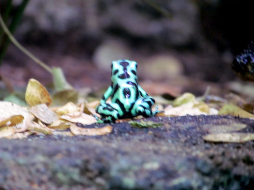 109 Green and Black Poison Arrow Frog Biodome Montreal Canada 3163