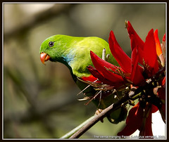 The Vernal Hanging Parrot