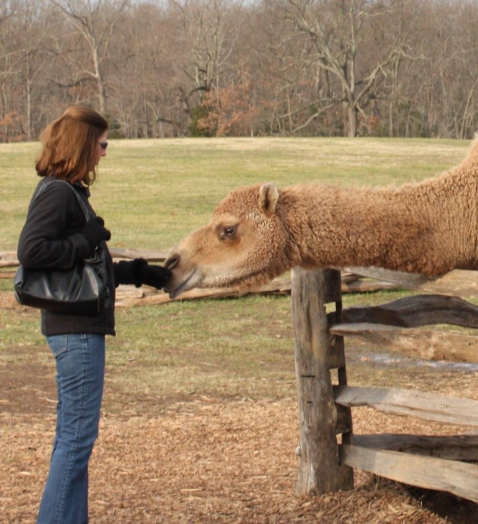 Mount Vernon Camel