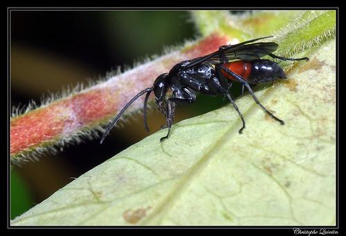 Arachnospila minutula mâle
