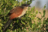 Cucal-de-Burchell // Burchell's Coucal