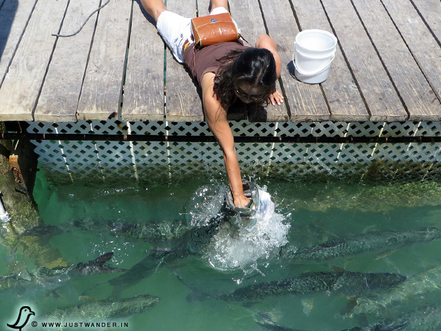 PIC: Maya's first to feed the tarpon
