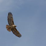 Red Tailed Hawk, Torrey Pines State Reserve