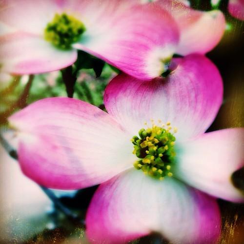 Blossom (104/365)