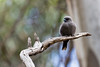 Dusky Woodswallow 2014-04-18 (_MG_4029)