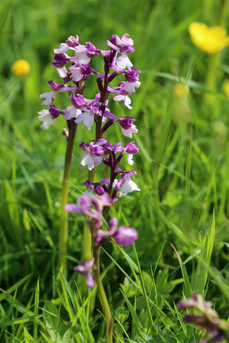 Green-winged Orchid, Anacamptis morio