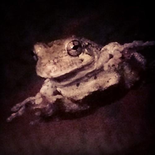 hello #treefrog I like your #smile :) #copesgraytreefrog (Hyla chrysoscelis) #hylidae #amphibia little Cope's gray tree frog on my friend Jan's glass door.