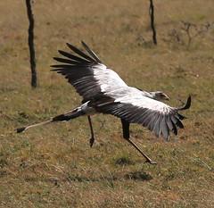 animal, prairie, wing, vulture, fauna, ciconiiformes, beak, bird, wildlife,