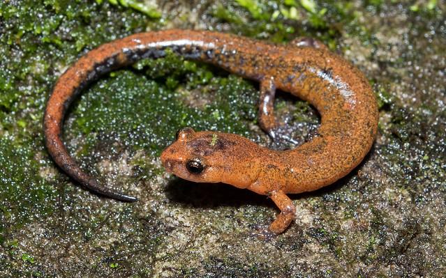 Zig Zag Salamander (Plethodon dorsalis)