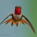 Male Rufous by jimgspokane