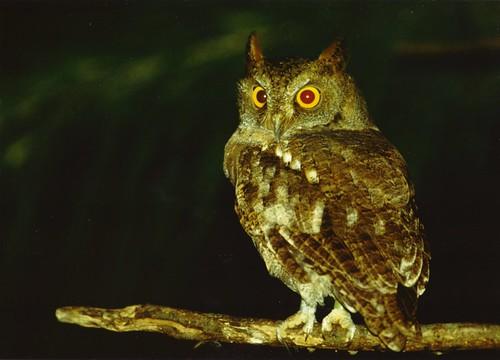 蘭嶼角鴞(劉小如提供)