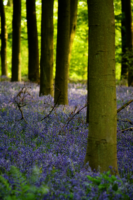 bluebells-trunks3