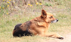 tervuren(0.0), dhole(0.0), dog breed(1.0), german shepherd dog(1.0), animal(1.0), dingo(1.0), dog(1.0), czechoslovakian wolfdog(1.0), eurasier(1.0), pet(1.0), old german shepherd dog(1.0), finnish spitz(1.0), belgian shepherd malinois(1.0), wolfdog(1.0), saarloos wolfdog(1.0), carnivoran(1.0),