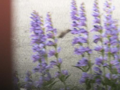 Invisible humming bird