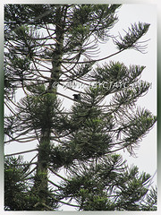 Silhoutte of male Asian Koel (Eudynamys scolopaceus) on a Norfolk Pine tree in the neighbourhood, June 14 2013