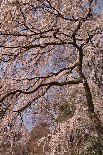 【写真】2013 桜 : 京都御苑/2020-10-30/IMGP8686