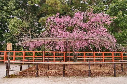 【写真】2013 桜 : 上賀茂神社/2020-09-09/IMGP9527