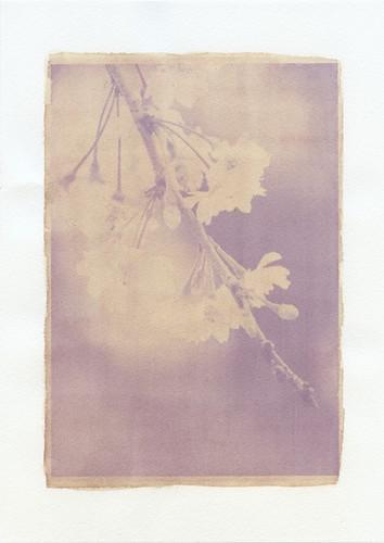 さくらんぼ アンソタイプ | Anthotype of cherry blossoms