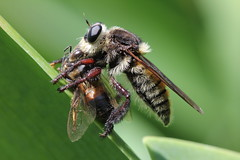 Robber Fly (Mallophora) (Eating Bee)