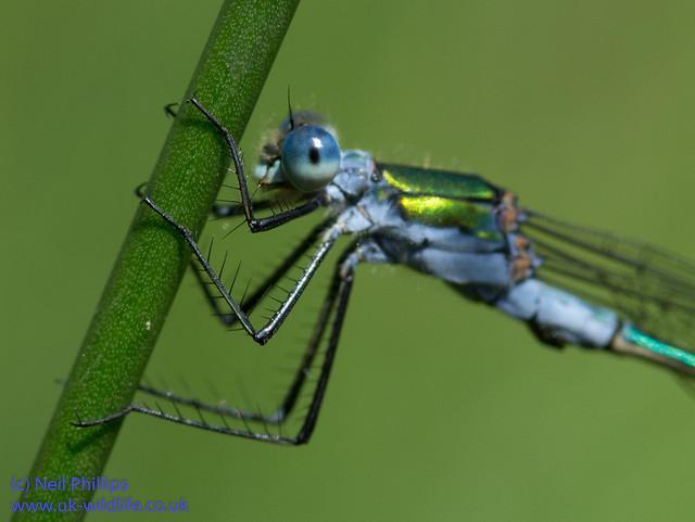 Emerald damselfly Lestes sponsa-12