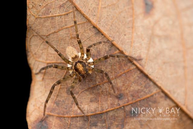 Huntsman Spider (Sparassidae) - DSC_3664