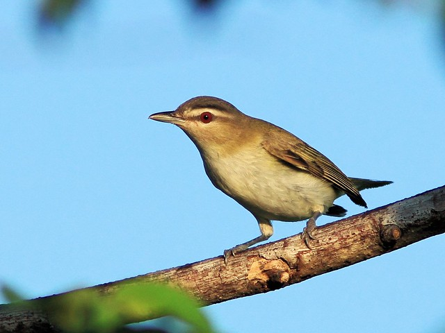 Red-eyed Vireo 20130919