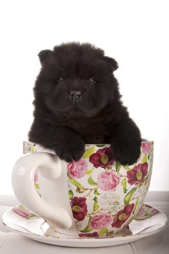 Teacup Chow Httpmylightyearwarrantycom30teacup Chow | Dog ...