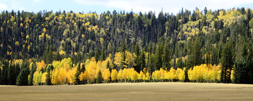 Aspens in Demotte Park-1a by Kaibab National Forest