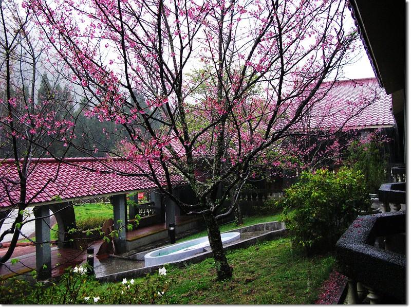 雨打武陵山櫻 2