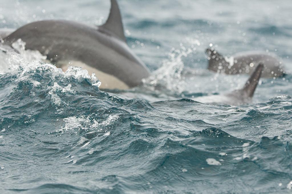 Spinner Dolphin 2013-12-03 (5)