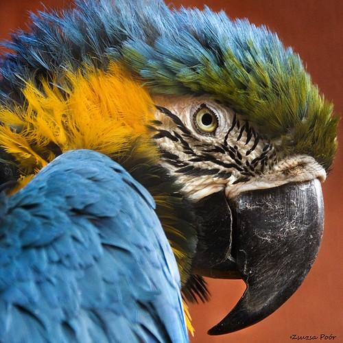 macaw by Zsuzsa Poór