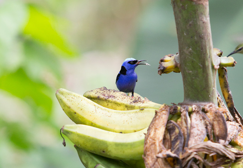 Red Legged Honeycreeper, male and female flying in