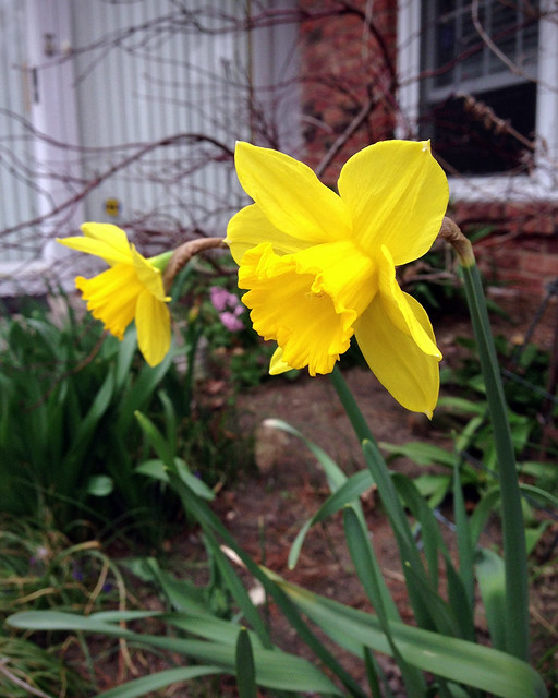 Daffodils, April 2013
