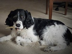 dog breed, animal, dog, pet, stabyhoun, drentse patrijshond, russian spaniel, english cocker spaniel, spaniel, french spaniel, english springer spaniel, carnivoran,