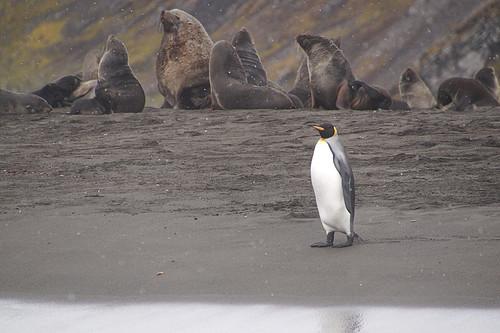 114 Zeeberen en koningspinguins