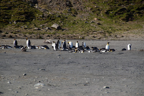 360 Koningspinguins