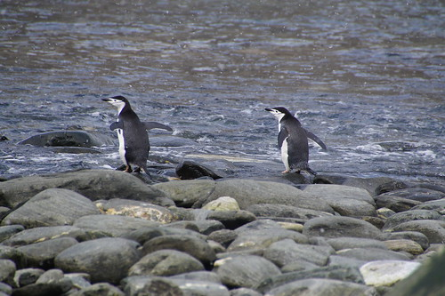 184 Elephant Island - Point Lookout Kinbandpinguins