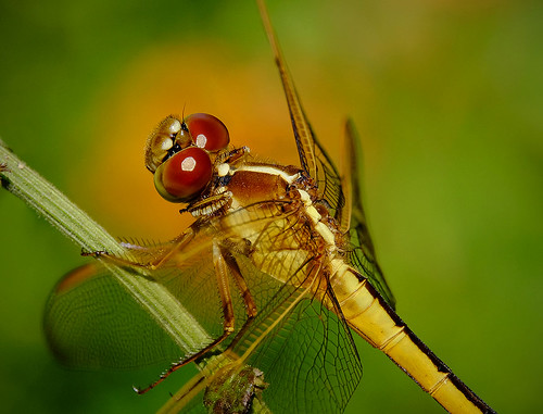 Dragonfly Portrait. Fairchild Tropical Botanic Garden.