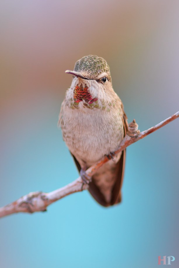 female Allen's and Anna's Hybrid Hummingbird  031214-2