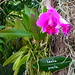 Small photo of Laelia pumila