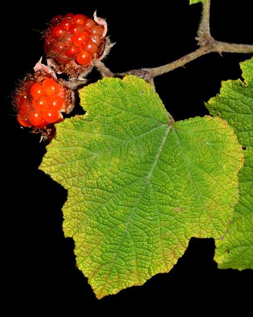Rubus alceifolius DSC_0624 (4)