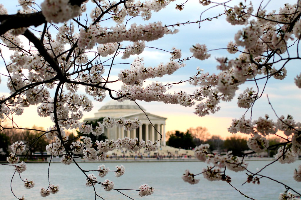 Cherry Blossoms April 2014 Washington DC