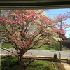 Front window view. #dogwoods