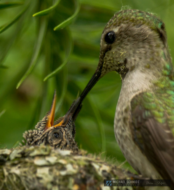2014-05-24 Vancouver Anna's Hummingbird Nest and Babies-30b