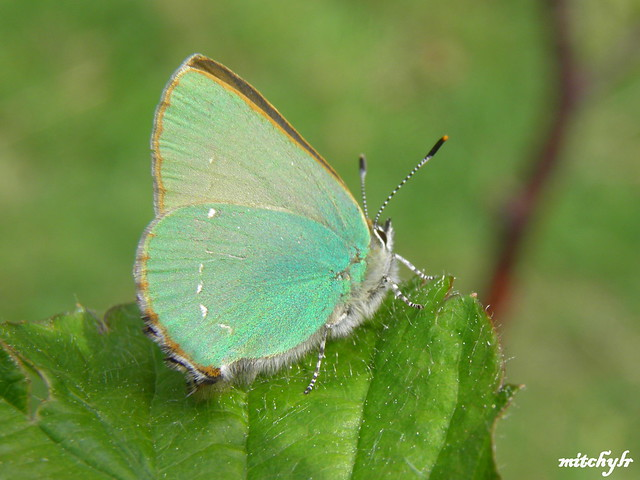 Turquois Butterfly