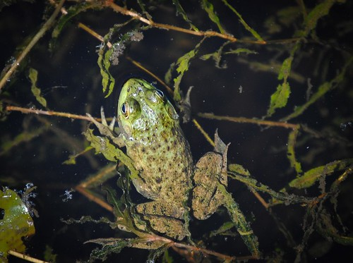 Full Bodied Frog
