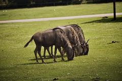 bull(0.0), zoo(0.0), cattle(0.0), safari(0.0), wildlife(0.0), cattle-like mammal(1.0), animal(1.0), grass(1.0), wildebeest(1.0), nature(1.0), mammal(1.0), horn(1.0), grazing(1.0), fauna(1.0), pasture(1.0), rural area(1.0),